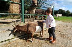 tamar-valley-donkey-park-goat-stroking