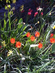 23 May 2013 : Miniature tulips in front raised bed early this morning (iPhone)