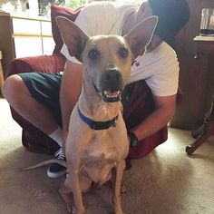 SENIOR SUNDAY! Another @susiesseniordogs success! After getting left behind at the shelter, we are so pleased to announce that 8 year old Brody has been adopted!! Brody was featured on Dogs of Instagram for #SeniorSunday two weeks ago. Brody is a Pharaoh Hound/Shar Pei mix who was originally surrendered to the Phoenix, AZ public shelter with his doggy brother when their human suffered a home foreclosure. The brothers wanted to stay together, but sadly that didn't happen. Thankfully, Brody's…