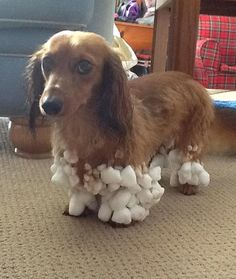 OH mine has had this happen before LOL. The snow just sticks in balls all over his fluffy legs!! :D