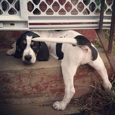 daisy the hound dog