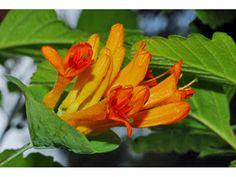 Lonicera ciliosa (Orange honeysuckle) :: native honeysuckle vine for OR, including central
