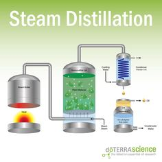 The most common method for collecting essential oils is steam distillation. This is a delicate, time-intensive process. Making Essential Oils, Essential Oil Blends, Distilling Alcohol, Whisky, Conservation, Essential Oil Distiller, Savon Soap, Steam Distillation, How To Make Oil