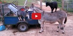 Goats Standing On A Donkey Because Why Not?