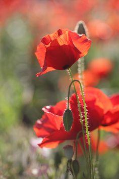 Orange Flowers, Red Poppies, Love Flowers, Wild Flowers, Beautiful Flowers, Beautiful Nature Pictures, Love Garden, Exotic Plants, Flower Art