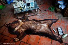 'It's just an animal' - Mark Leong - Wildlife Photographer of the Year 2010 : Wildlife Photojournalist Award - Winner