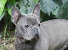blue frenchie White French Bulldog Puppies, Merle French Bulldog, French Bulldog Facts, French Bulldogs, Wallpaper English, Blue Frenchie, Every Dog Breed, Bulldog Breeds, Puppies And Kitties