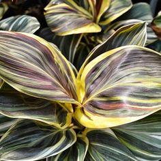 Cordyline fruticosa Miss Andrea