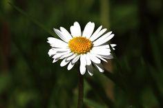 Gänseblümchen, Blüte, Blume, Blühen, Wiese, Weiß, Gelb