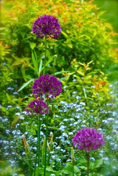 """gardengrab: """" Allium 'Purple Sensation' contrasting with Spirea 'Goldflame' and blue forget-me-nots in the Front Walk. This succession…"""