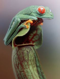 An Agalychnis Callidria (Red-Eyed Tree Frog) : Amazing reptiles and amphibians photographed by Igor Siwanowicz
