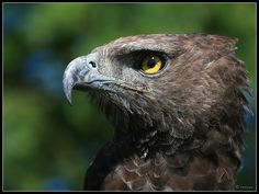 Martial Eagle (Polemaetus bellicosus) Inhabits open and semi-open habitats of sub-Saharan Africa. 3 feet long with a wingspan of up to 8 feet 6 inches, weighing 7 - 14 pounds.