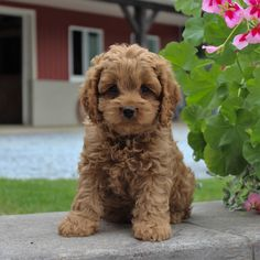 Lancaster Puppies makes it easy to find healthy puppies from reputable dog breeders across Pennsylvania, Ohio, and more. Cockapoo Puppies For Sale, Gsd Puppies, Cute Puppies, Lancaster Puppies, Retriever Puppy, German Shepherd Puppies, Goldendoodle, Best Dogs, Charmed