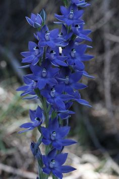 Scented Sun-Orchid: Thelymitra macrophylla - Flickr - Photo Sharing!
