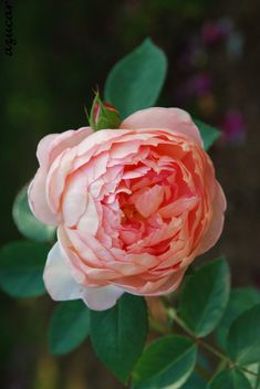 'Endeavour' | Shrub. English Rose Collection. David C. H. Austin, 2005 | Flickr - © azucargeminis