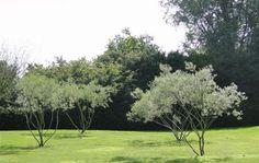 Bog Garden, Garden Trees, Green Garden, Trees To Plant, Garden Plants, Mediterranean Garden, Evergreen Shrubs, Small Trees, Landscaping Plants