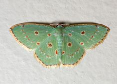 Class:	Insecta Order:	Lepidoptera Family:	Geometridae Genus:	Comostola Species:	laesaria Common Name:	no common name