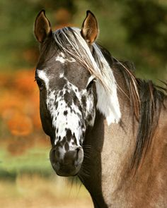 Fair-minded approved percherons look at here now All The Pretty Horses, Beautiful Horses, Animals Beautiful, Cute Animals, Farm Animals, Cheval Pie, Paint Horse, Horse Coat Colors, Horse Markings