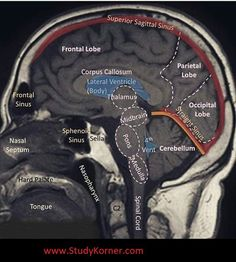 "resuscitationist: ""The brain is made of three main parts: the forebrain, midbrain, and hindbrain. The forebrain consists of the cerebrum, thalamus, and hypothalamus (part of the limbic system). The midbrain consists of the tectum and tegmentum. Brain Anatomy, Medical Anatomy, Human Anatomy And Physiology, Skull Anatomy, Nursing School Notes, Nursing Schools, Medical School, Medical Science, Brain Science"