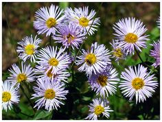 Showy Fleabane by Steve, Katherine, and Norah Wildflowers, Plants, Flora, Plant, Wild Flowers