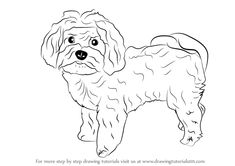 Learn How to Draw a Maltese Dog (Dogs) Step by Step : Drawing Tutorials