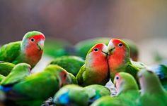 Rosy/Peach-faced Lovebird (Agapornis roseicollis - subspecies: roseicollis & catumbella) http://ibc.lynxeds.com/species/rosy-faced-lovebird-agapornis-roseicollis