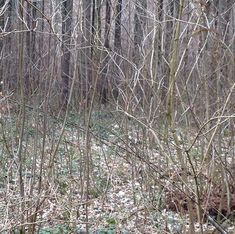 There's a deer in this photo: a stag with growing antlers and he's staring right at you. #deer #wildlifephotography #wildlife #woods #camouflage #wald #walkinthewoods #instahunt #planetearth #jägermeister #jäger #nofilter