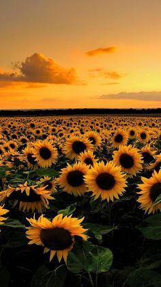Fall Sunflowers Wallpaper 2048x1240 Free Desktop Wallpaper Downloads Sunflower