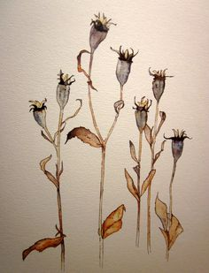 Watercolor and Pen and Ink print of Balloon Flower Seed Heads