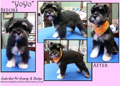 There's nothing cuter than a puppy before and after his first haircut!