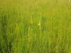 Backyard grass - texture Long grass by net_efekt, via Flickr