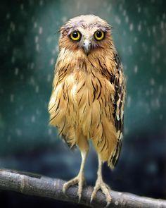 "46.4k Likes, 281 Comments - Wildlife Planet (@wildlifeplanet) on Instagram: ""Wet Owl | Photo by ©Sham Jolimie #WildlifePlanet"""