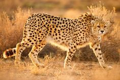 Asian cheetah - How Iran is destroying its once thriving environmental movement