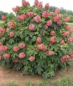 Hydrangea quercifolia Queen of Hearts Queen of Hearts Oakleaf Hydrangea from Prides Corner Farms Shade Perennials, Flowers Perennials, Drift Roses, Shade Loving Shrubs, Hydrangea Quercifolia, Street Trees, Thing 1, Garden Pictures, Landscaping Plants