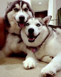 19 Things All Husky Owners Must Never Forget