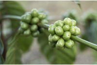 Green Coffee Health Benefits: Real or Imagined? Coffee Type, Coffee Latte, Coffee Barista, Coffee Scrub, Coffee Cozy, Starbucks Coffee, Coffee Humor, Black Coffee, Iced Coffee