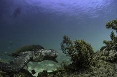 Lonely Turtle - Turtle during snorkel in Isabela (Galapagos Islands). Natural light, free diving.