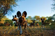 Wild Dogs, Okavango Delta, Botswana