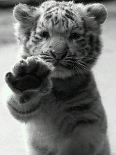 #tigre --- verlina.com ---