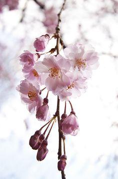 ... my favorite flower... #pink #sakura #cherryblossom