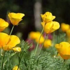 Kakukkmák, az alvászavar gyógynövénye Episcopal Church, Gardening, Poppies, Gardens, Creativity, Plants, Orchards, Yellow Girl Nurseries, Elegant