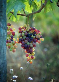 Los colores del vino. La Toscana