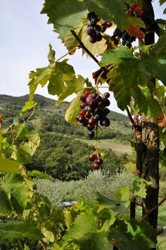 Grapes at an agriturismo in Italy