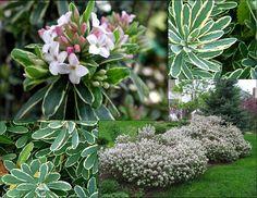 Daphne x burkwoodii 'Carol Mackie'. Carol Mackie Daphne. Zone 5. 2'-5' high & wide.