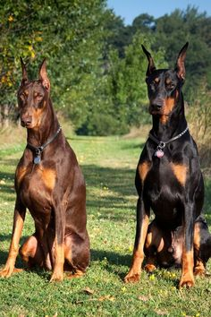 13 Best Guard Dogs to Protect Your Family and Home Doberman Pinscher – Best Guard Dogs Doberman Pinscher Puppy, Doberman Puppies, Blue Doberman, Corgi Puppies, Cute Dogs And Puppies, Big Dogs, Doggies, Gaurd Dogs, Bon Week End Image