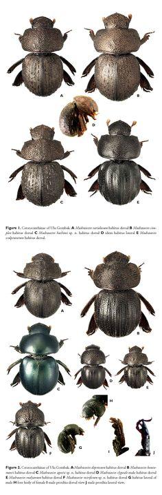 Ceratocanthinae