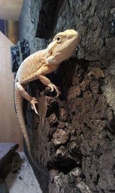 bearded dragon climbing Reptiles And Amphibians, Mammals, Dragons Den, Pet Dragon, Geckos, Bearded Dragon, Artemis, Little Man, Exotic Pets