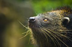 Binturong, also called a bearcat, found in South & Southeast Asia. Prehensile tail, weighs 50-70 lbs, mostly arboreal, omnivorous. Endangered. Hunted for meat & coat.