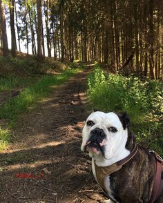 Holly und ein Waldweg 6.5 #iphone6sphotography #holly #hollyismydog #oeb #oldenglishbulldog #oldenglishbulldogge #bulldog #bulldoglove #bulldogsofinstagram #blacknose #waldweg #forest #sprockhövel #springtime #sprockhövellove #ruhrgebiet #ruhrpott #love_r