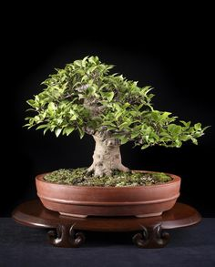 The Art of Bonsai Project - Feature Gallery: The Best of Bonsai Today / AoB's Styling Contest